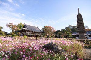 奈良【般若寺】コスモス寺・開花時期は9~11月