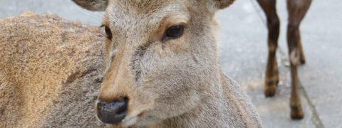 【東大寺】写真で案内する【大仏殿】何故奈良に鹿がいるのか?