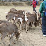 奈良の鹿【頭数調査】は毎年同じ日に!夜は何処へ?発情期に鹿に注意!