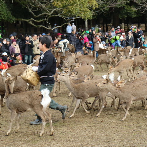 奈良公園・鹿イベント3つ!日程・春は「小鹿公開」夏は「鹿寄せ」秋は「角切り」冬も「鹿寄せ」