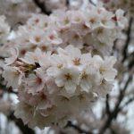 桜の開花速報!お花見2017奈良の桜の見ごろはいつ?リアルタイムの報告する!