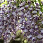 奈良の花便りGWは春日大社の藤が見ごろ!万葉植物園で藤を見てきた