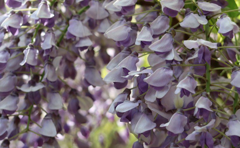 奈良の花便りGWは春日大社の藤が見ごろ!万葉植物園で藤を見てきた2007