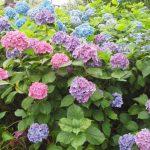 【紫陽花】奈良の花ごよみ・奈良でアジサイを見るならココ4つ!梅雨を彩る紫陽花を見に行こう
