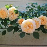 デルバールとデビッドオースチンのバラが好き!イングリッシュローズ&フレンチローズ