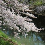佐保川の桜は本日満開でした!奈良の桜は満開でお花見日和・今週末は見ごろ