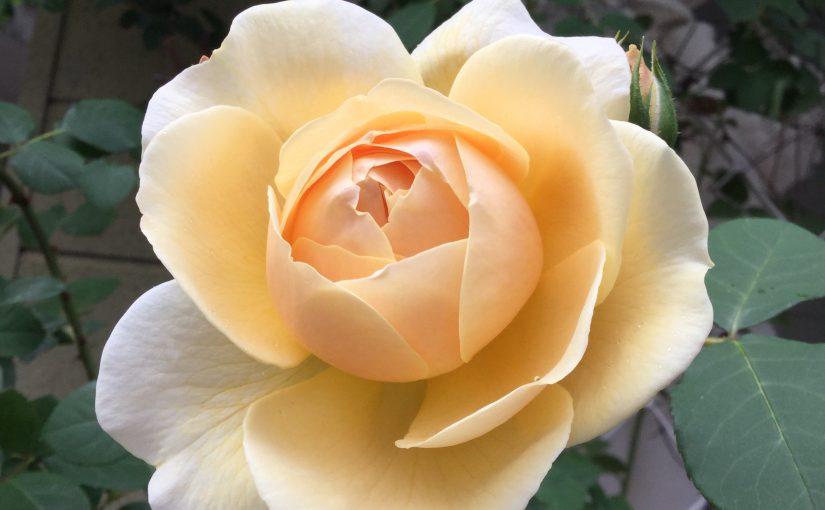 バラ【ティージングジョージア】桜と同じく2018年は早い開花byデビッドオースチン