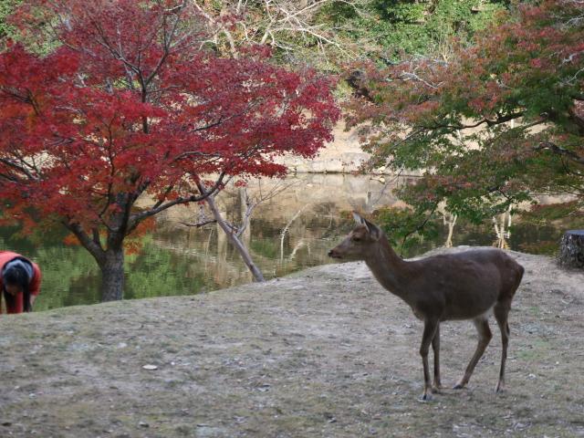 【紅葉 関西】奈良公園2018年紅葉は見頃?11月16日に行ってきました。生の紅葉情報だよ